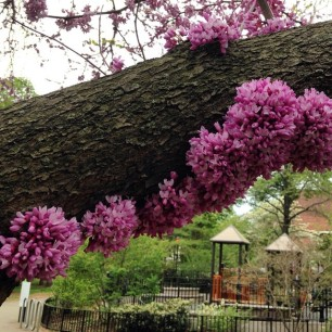 Redbud blossoms near the playground