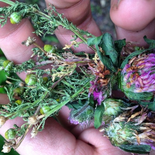 Pineapple weed and red clover